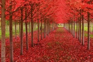 Red Fall Trees